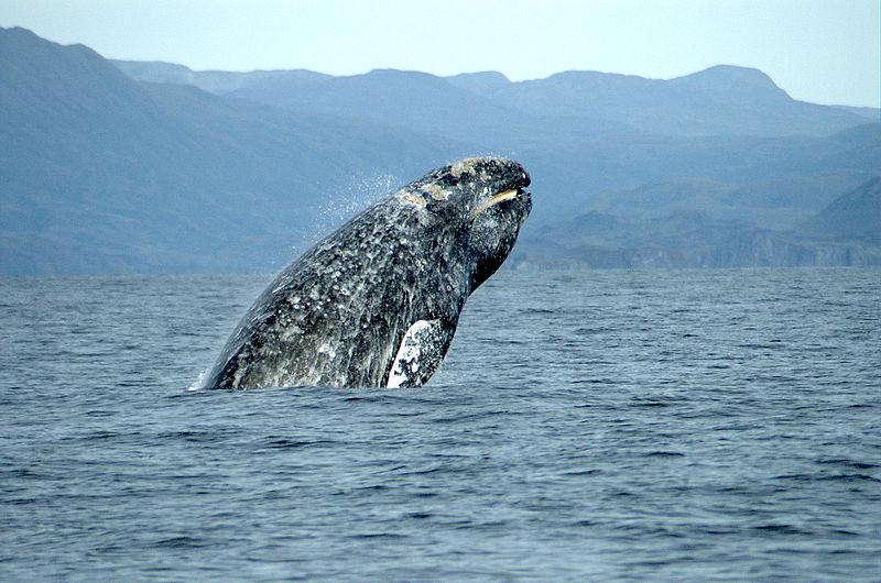 Maiores baleias do mundo - Baleia-cinzenta