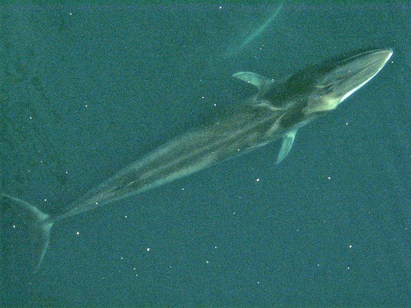 Maiores baleias do mundo - Baleia-comum