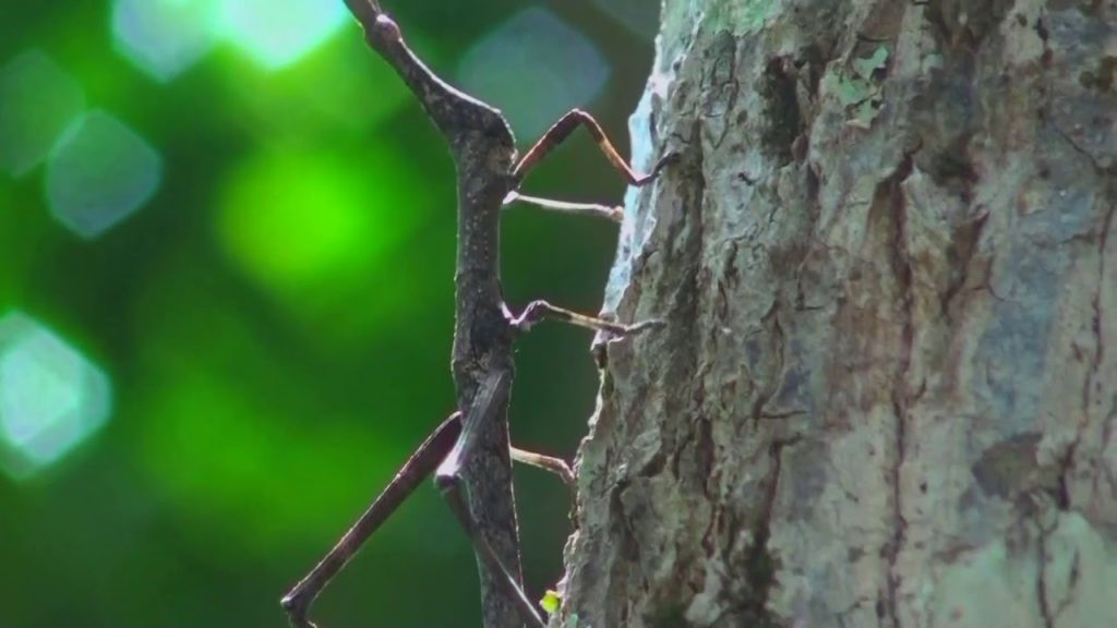 Animais da Amazônia: Bicho Pau