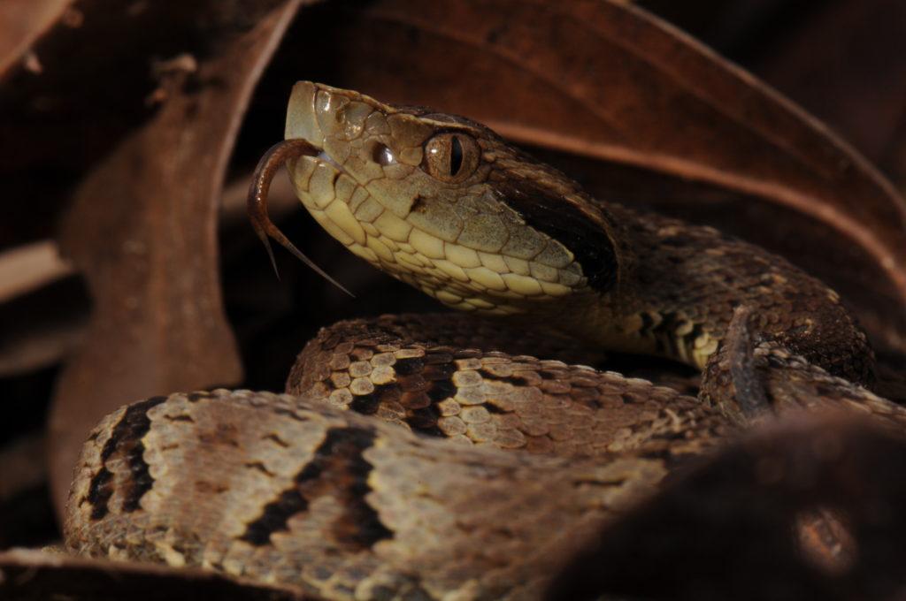Animais da Amazônia: Jararaca