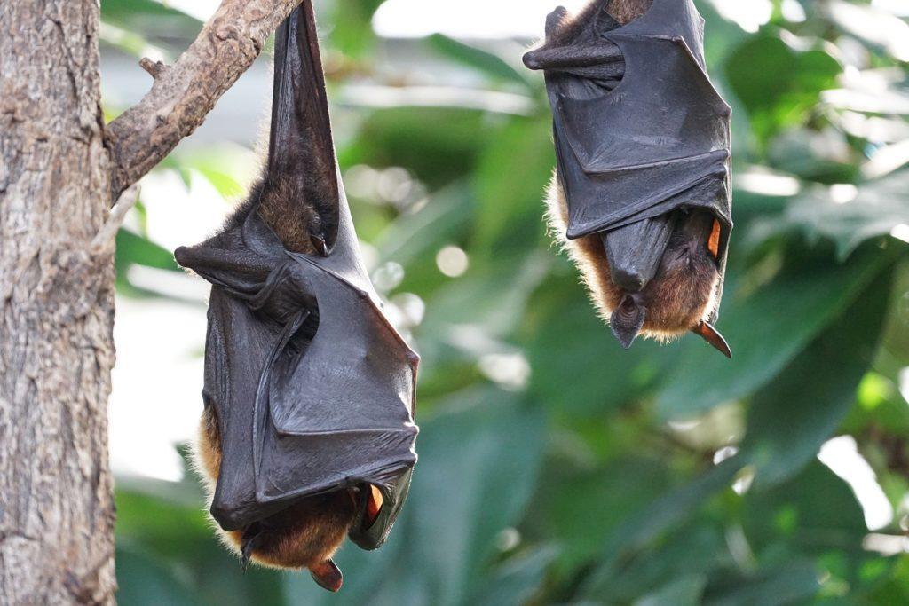 Animais noturnos: Morcegos