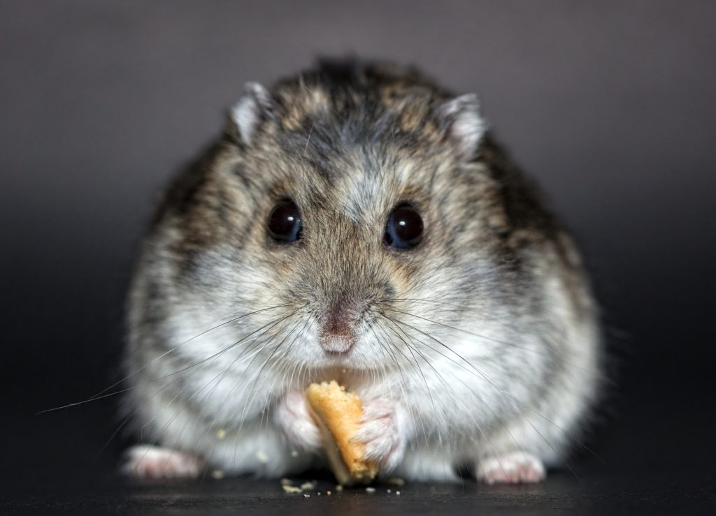 Animais Noturnos : Hamster