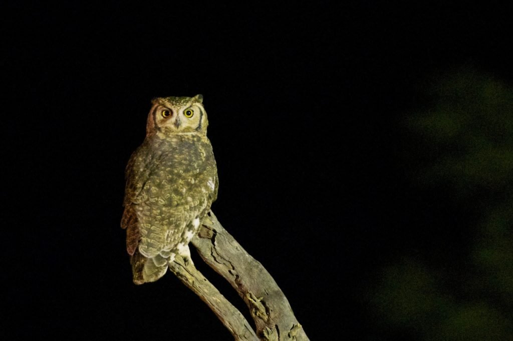 Animais noturnos: Corujas
