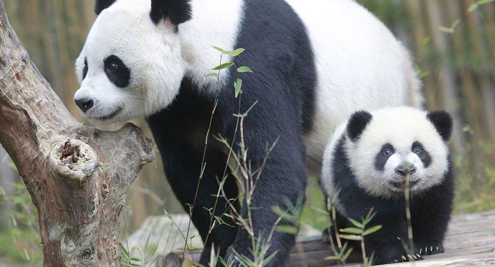 panda filhote