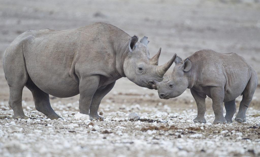 Animais Noturnos : Rinoceronte-Negro