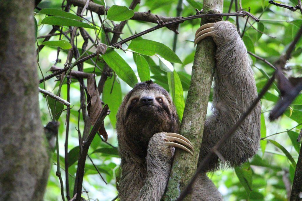 Animais da Amazônia: Bicho-preguiça