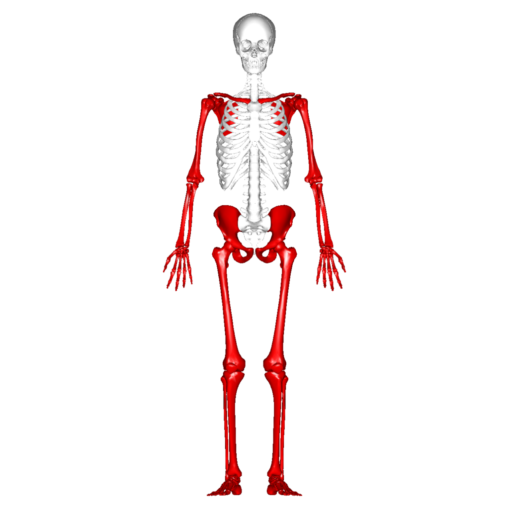 Esqueleto axial e esqueleto apendicular