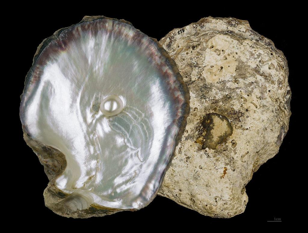 Filo Mollusca - Ostra perlífera