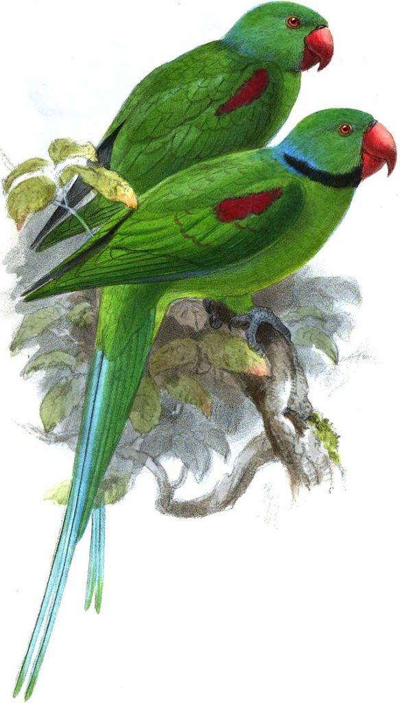 Periquito-das-Seychelles