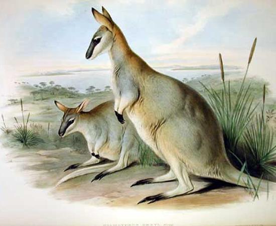 Wallaby-rabo-de-prego-crescente