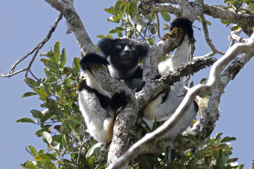 Animal com I - Indri