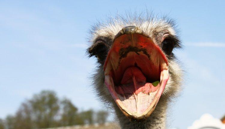 animal com a avestruz