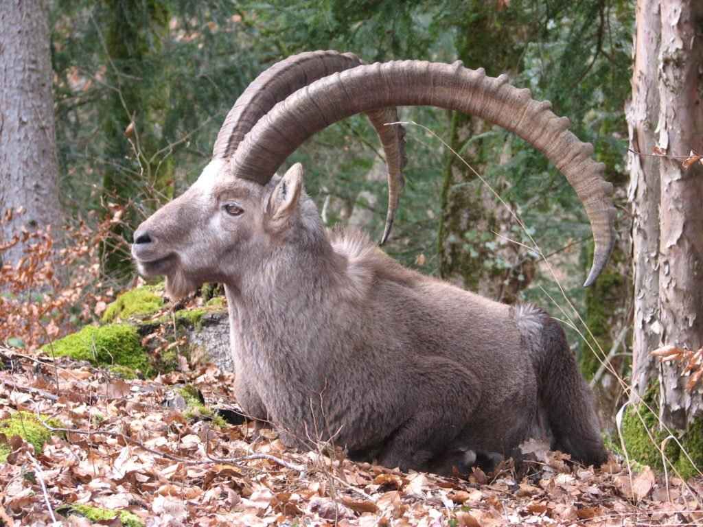 Animal com I - Ibex