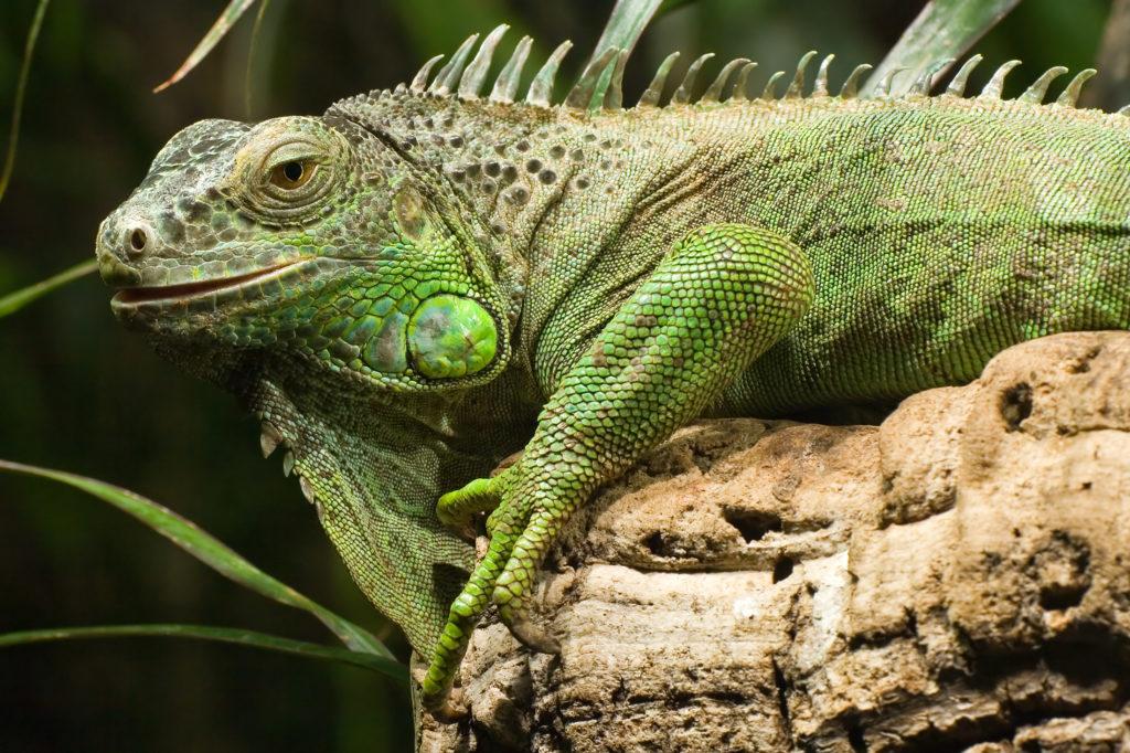 Animal com I - Iguana