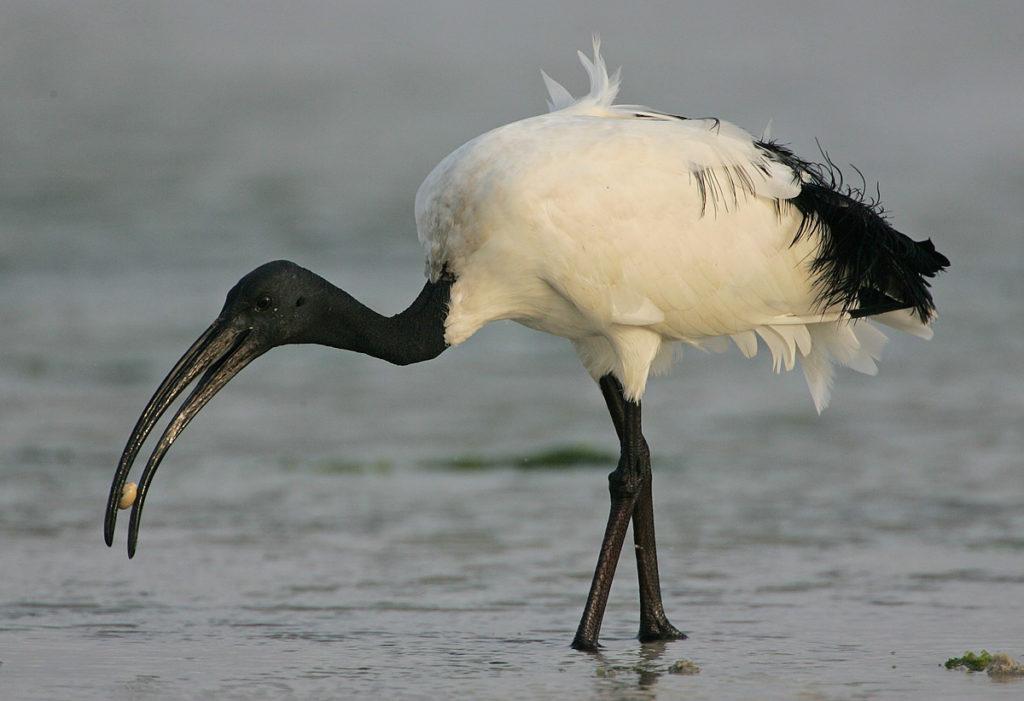 Animal com I - Ibis