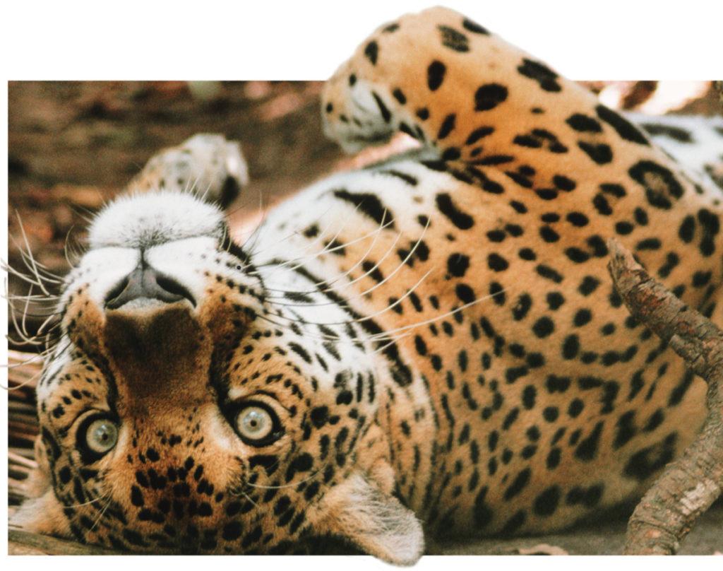animal com o - onça