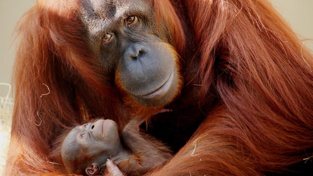 animal com o - orangotango
