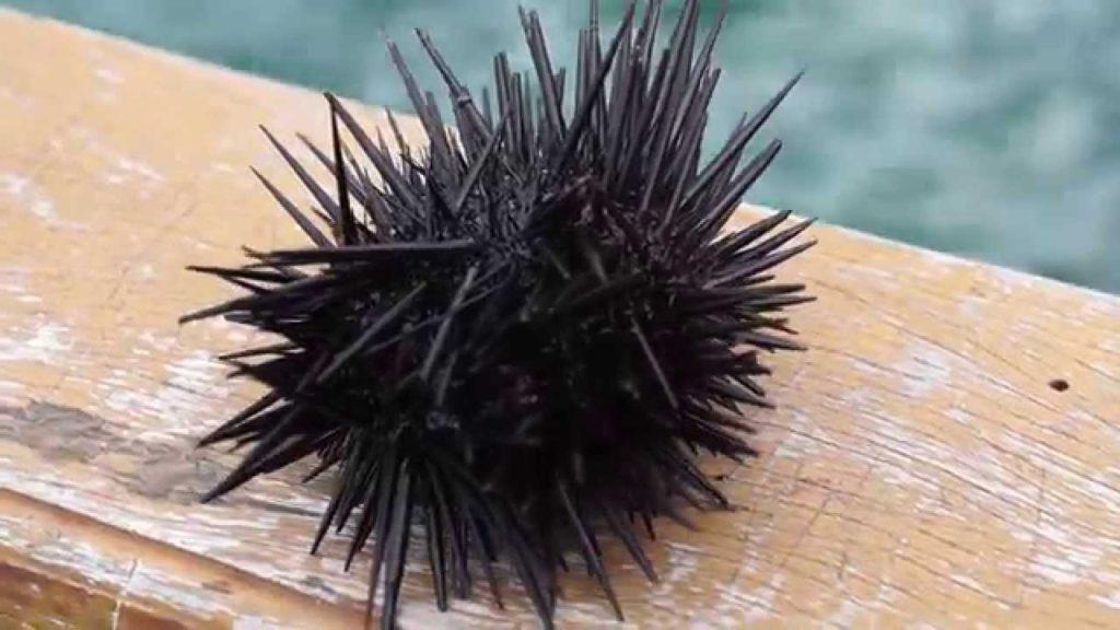 animal com o - ouriço do mar