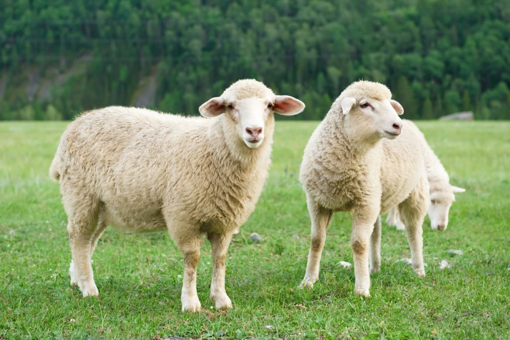 animal com o - ovelha