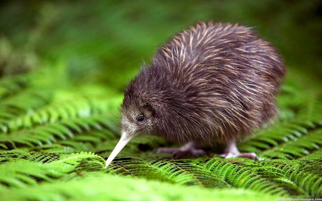 Animal com K- Kiwi