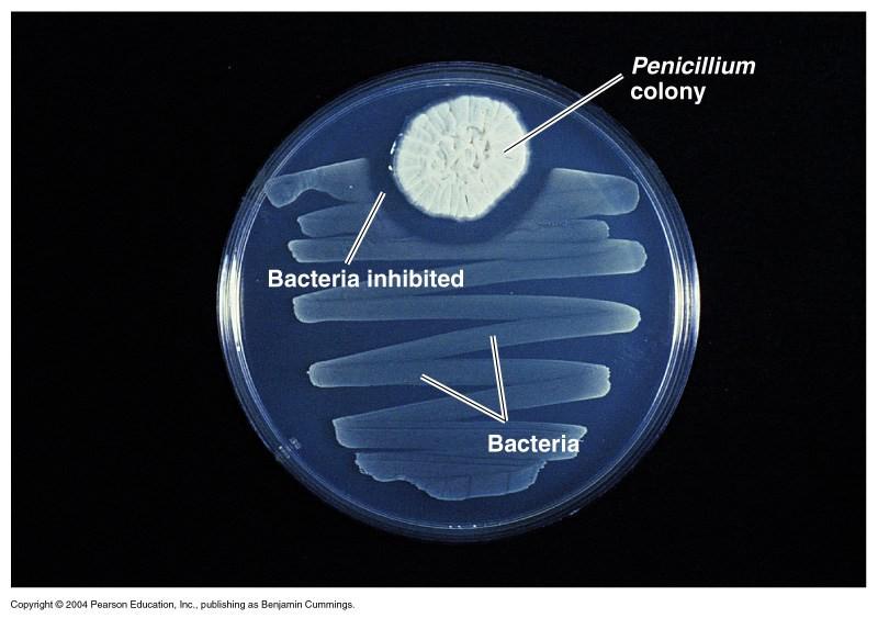 Antibiose - penicilina