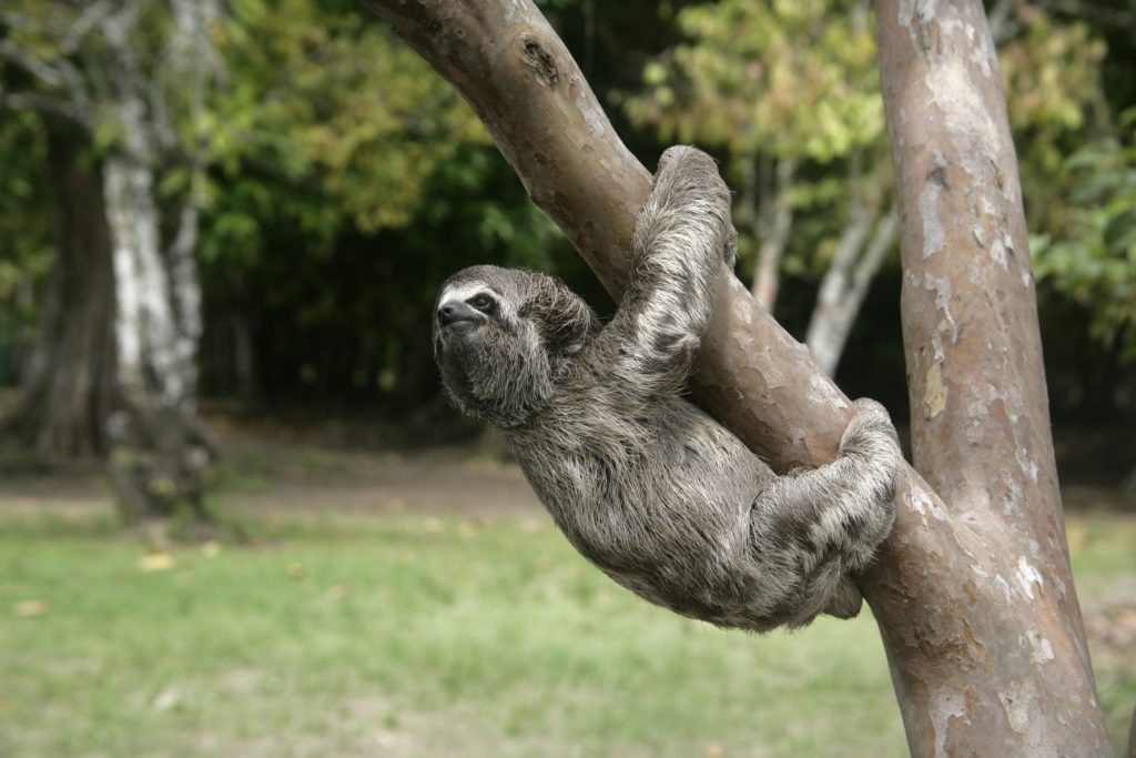 Animal com B bicho-preguiça