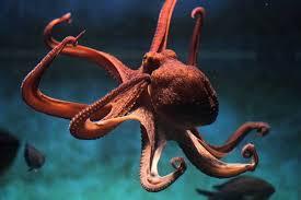 Filo Mollusca - Molusco cefalópode