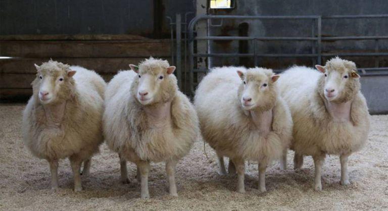 Biotecnologia - Clones ovelha Dolly