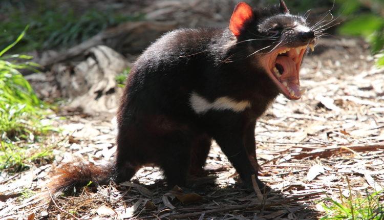 Animais com D - Diabo-da-tasmânia