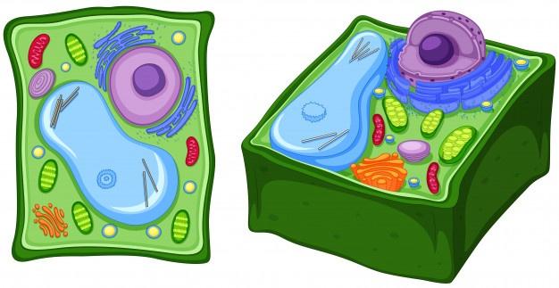 Diagrama célula vegetal
