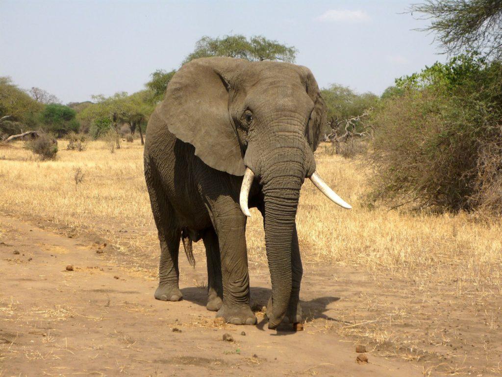 Animal com E - Elefante