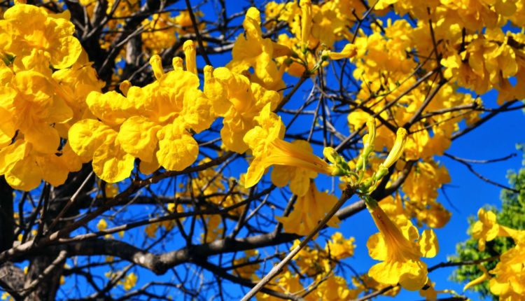 Flores ipê