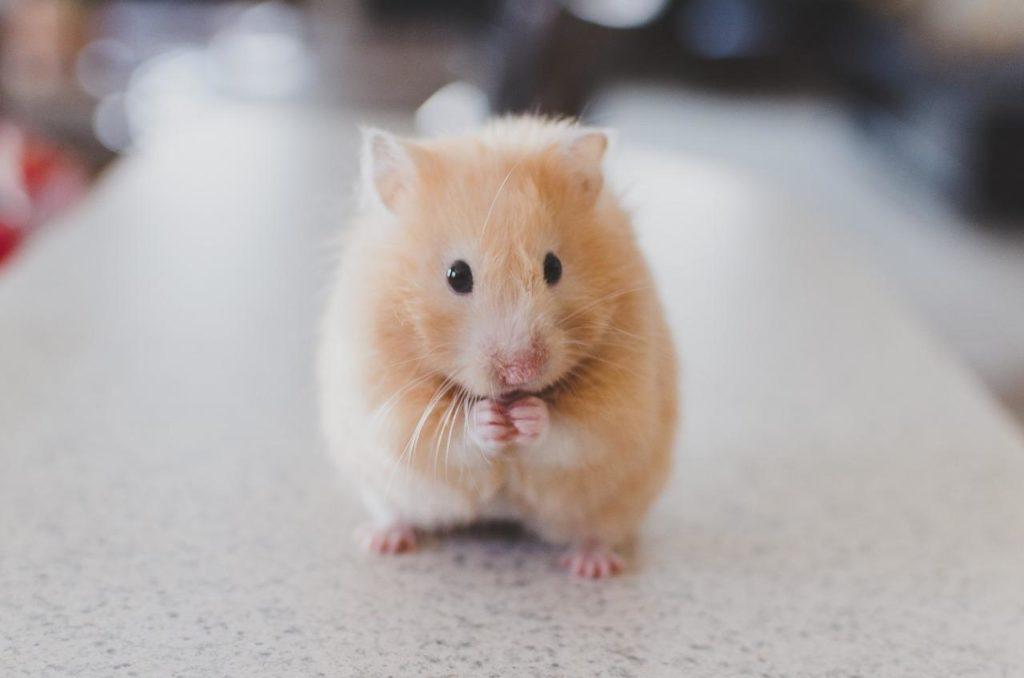 Animal com H - hamster