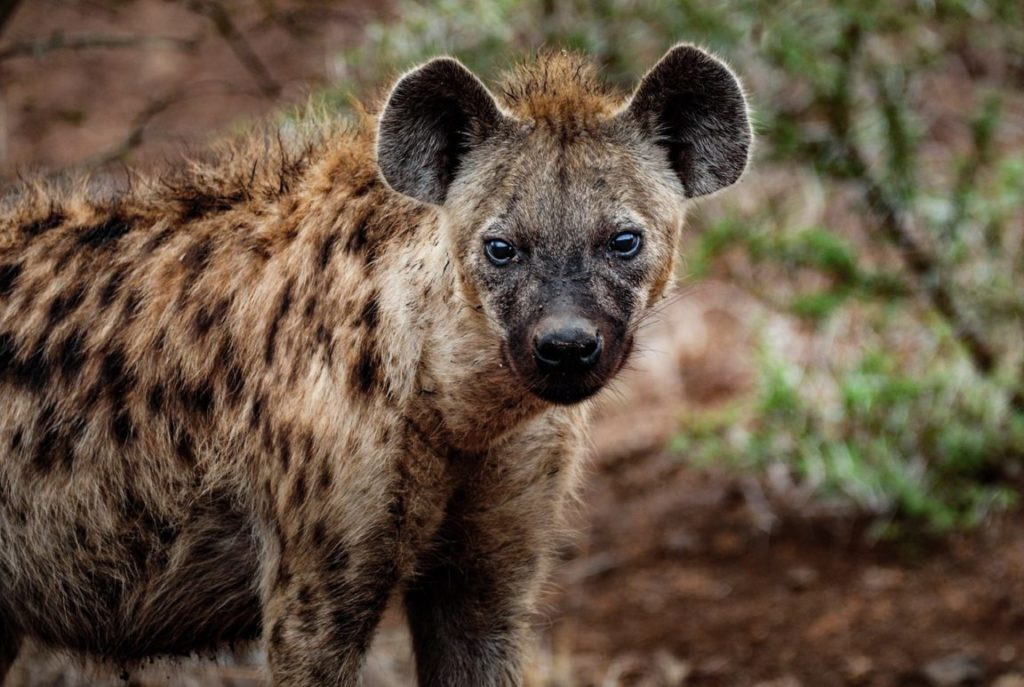 Animal com H - hiena