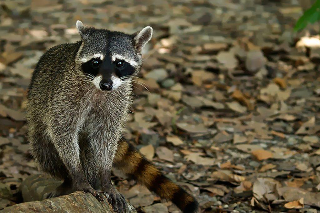 Animal com I - Iguanara