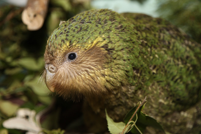 Animal com K- Kakapo