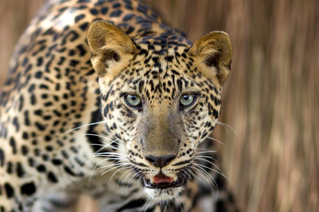 Animal com L - leopardo