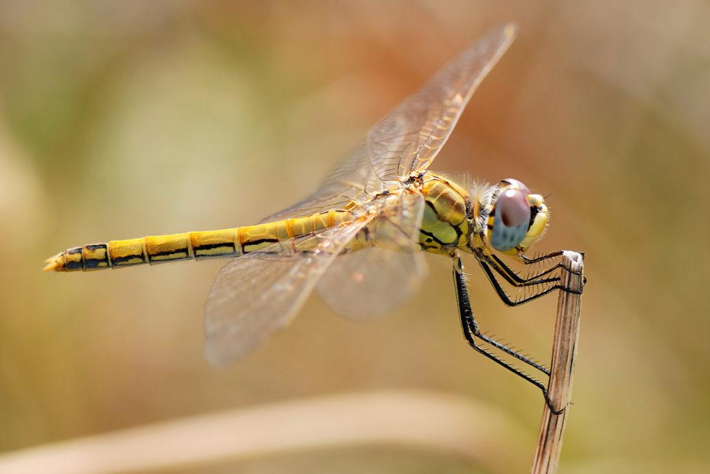 Animal com L - libélula