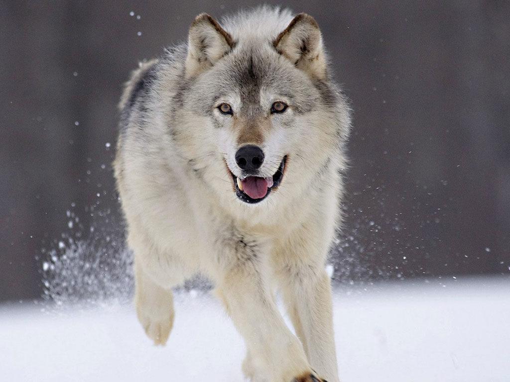 Animal com L - lobo
