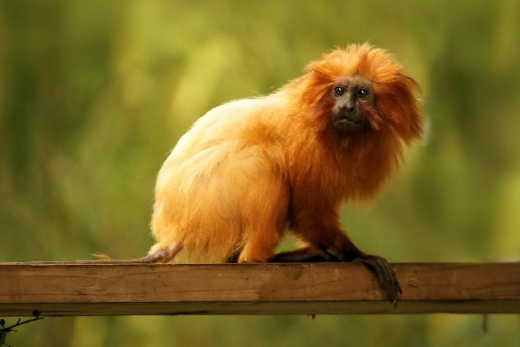 Animal com M - mico-leão-dourado