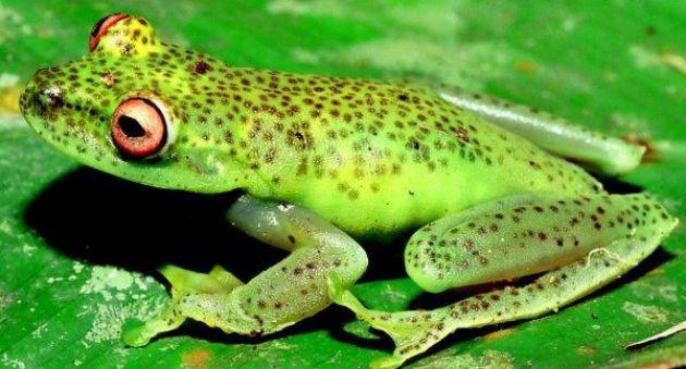 Perereca-verde-da-fímbria