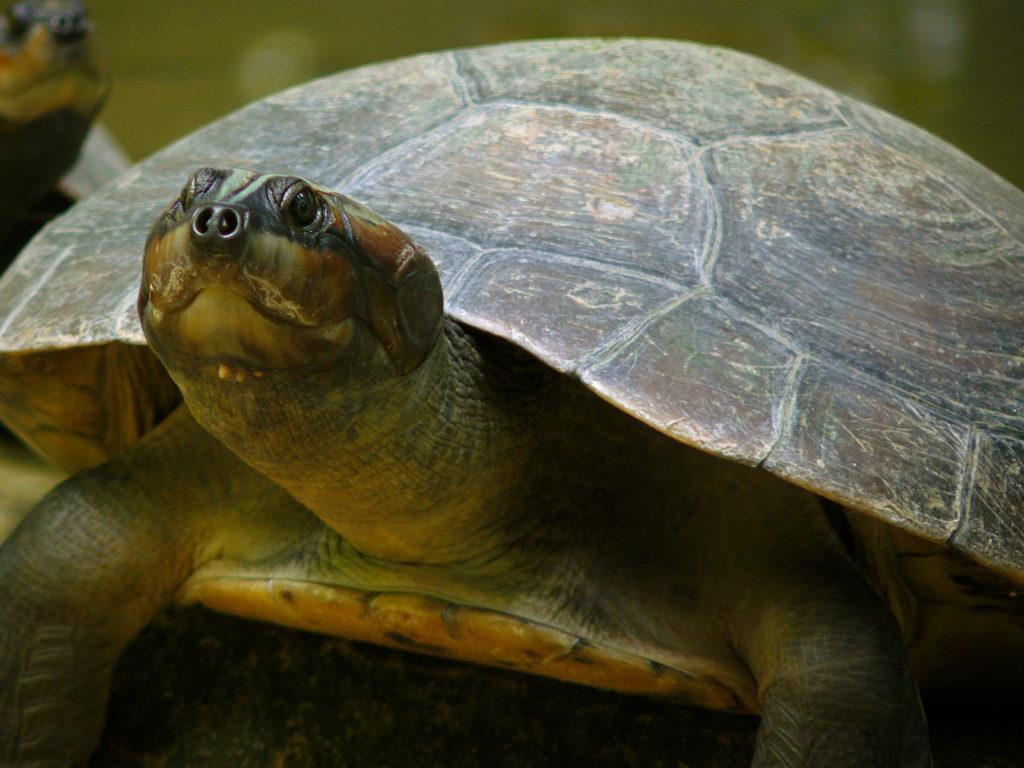 Tartaruga da Amazônia
