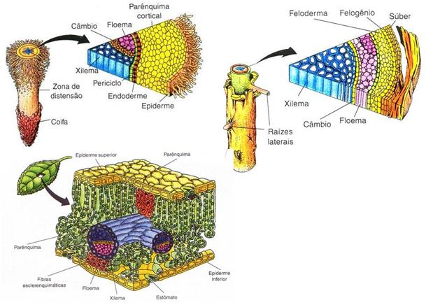 Histologia Vegetal - Representação dos Tecidos Vegetais