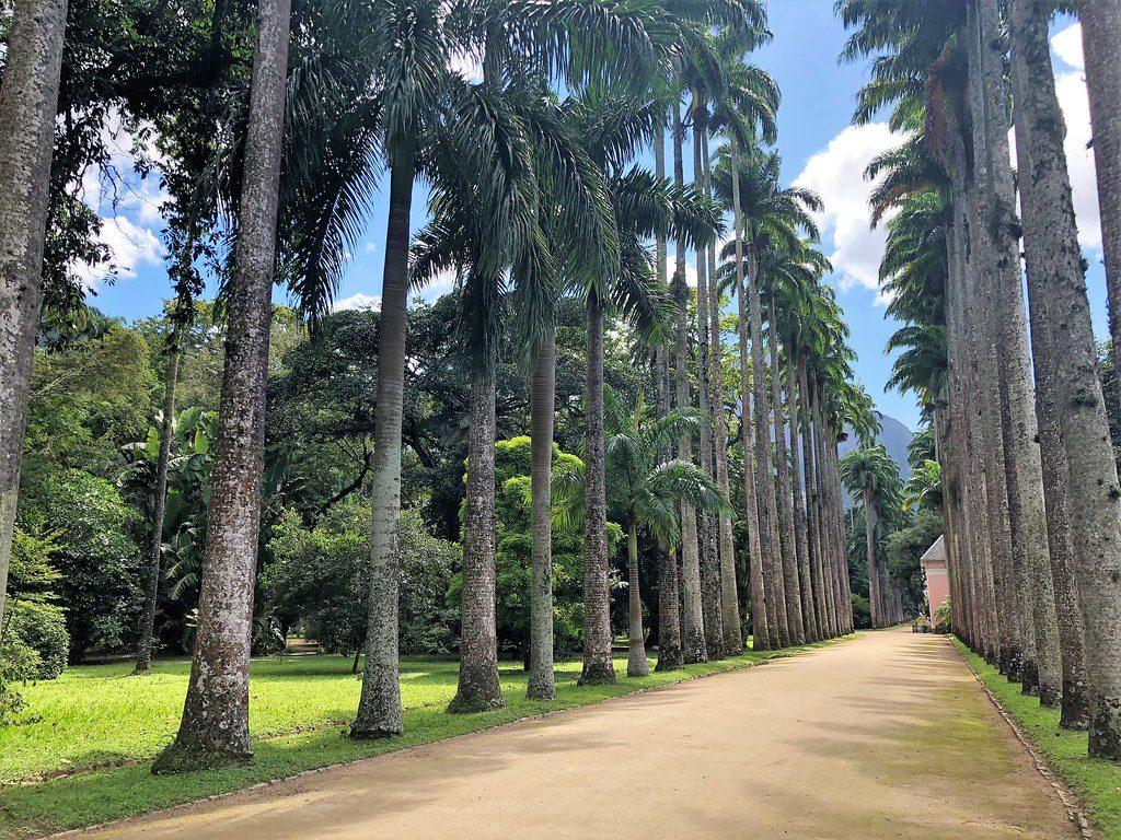 Caule - Estipe - Palmeiras Imperiais do Jardim Botânico do Rio de Janeiro.