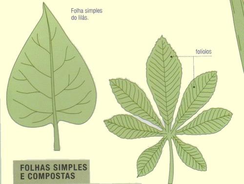 Tipos de Folhas - simples e compostas