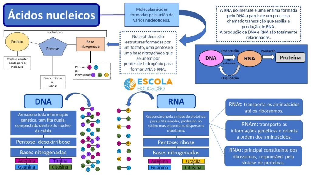 Mapa mental - Ácidos nucleicos