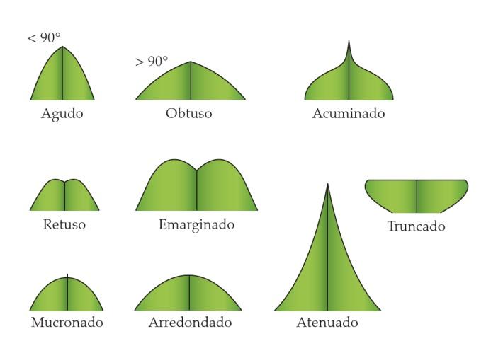 Classificação de folhas - Tipos de ápice (Imagem retirada do livro Sistemática Vegetal 3 ed Um Enfoque Filogenético)