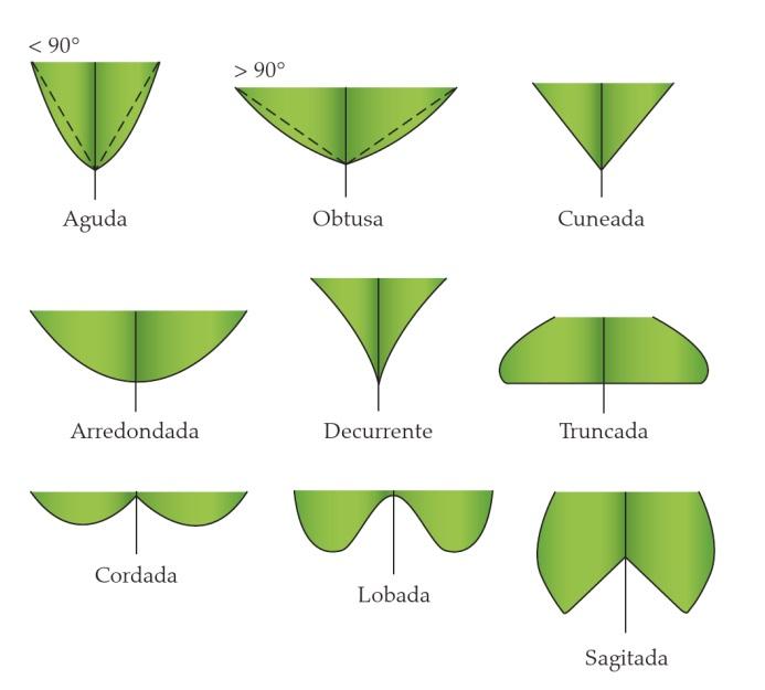 Classificação de folhas - Tipos de base (Imagem retirada do livro Sistemática Vegetal 3 ed Um Enfoque Filogenético)