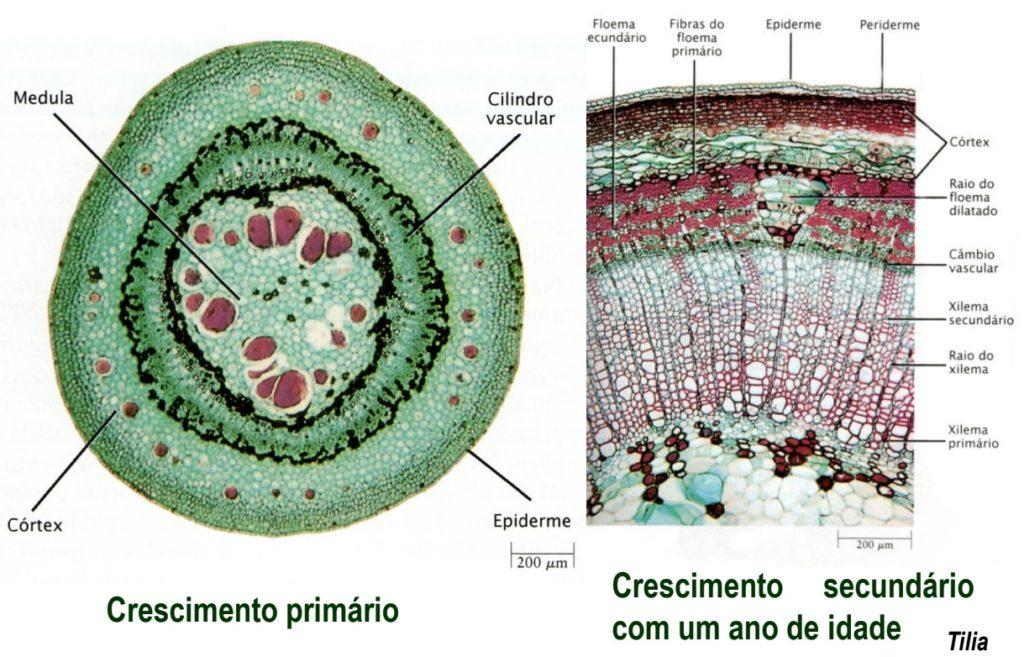 Caule - anatomia do crescimento primário e secundário de Tilia sp.