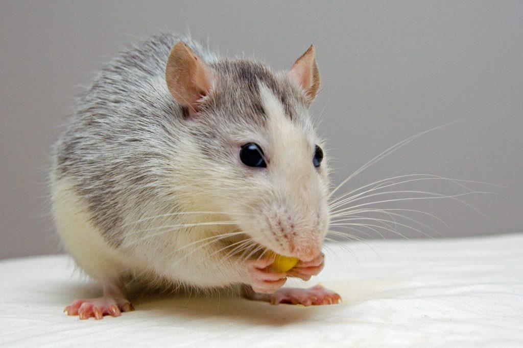 Animal com R - rato